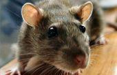 Rat controle Home Remedies