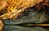 Hoe maak je een Alligator-hoofd
