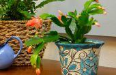 Kerstmis Cactus stekken: How to Grow van wortels in Water
