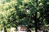 Black Walnut Trees & tuinen