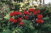 De beste bloeiende rododendrons voor schaduw