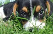 Vrouwelijke Puppies & tepel ontwikkeling