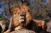 Welke functies hebben Lions om te overleven in het Wild?