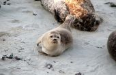 Fysische kenmerken van zeehonden