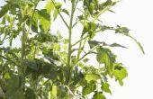 Welke groenten groeien het beste samen in de tuin van mijn Container?