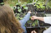 Het verplaatsen van plantaardige zaailingen van binnen naar buiten