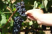 Hoe om te groeien wijnstokken in Alabama