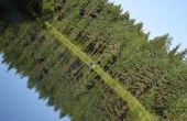 Florida Pine Tree rassen
