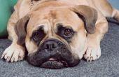 Hond vlekken uit tapijt verwijderen