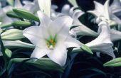 Hoe te planten Pasen lelies