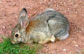 Hoe de behandeling van urineweginfecties bij konijnen