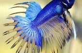 Hoe maak je een Betta vis kleurrijker