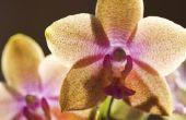 Kan ik Osmocote plantaardige voedsel gebruiken in orchideeën?
