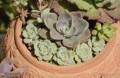 Hoe maak je een schotel tuin van succulenten