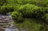 How to Grow Ierse of Scotch Moss (Sagina Subulata)