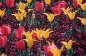 Hoe maak je slagroom tulpen