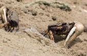 Hoe te vangen Fiddler krabben voor aas