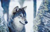 Hoe teken je realistisch dierlijk haar voor een Wolf