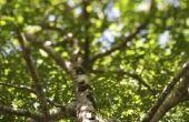 Hoe stimuleren de groei van een boomtak