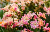 Droogte-tolerante Perennials