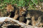 Hoe grijze wolven zich voor hun kinderen zorgen