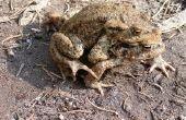 Hoe herken ik een jongen Toad uit een meisje Toad
