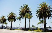 Zal Palm bomen groeien terug als je knippen hun Trunks?