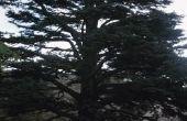 De ziekte van een ceder boom sterven van boven naar beneden