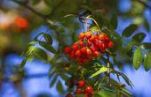 How to Grow Mountain Ash bomen