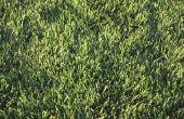 Hoe vindt u het beste gras voor Florida gazons
