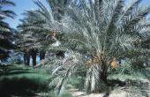 Hoe te knippen Fronds of varenblad Stubs uit de Dadelpalm boom
