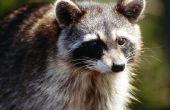 How to Get Rid van Raccoons op een dak