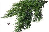 Hoe te behandelen Cedar roest