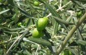 How to Grow olijfbomen thuis
