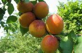 Hoe te snoeien abrikoos bomen in Californië