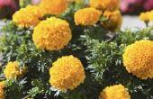 Het behouden van Goudsbloem zaden uit uw tuin