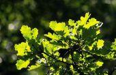 Kunt u Live Oak hout voor een Barbecue?