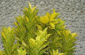 Het Is December: Waarom Is mijn Croton verliest bladeren?