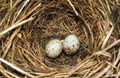 Hoe zorg voor een gevallen vogel Nest met levende eieren in uw huis