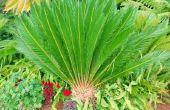 Wat kan ik doen om een Sago Palm Tree groener maken?