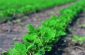 Wat Is het beste klimaat voor de teelt van sojabonen?