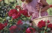 Hoe te snoeien van rozen in Georgië