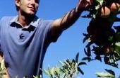 Hoe te snoeien van oudere appelbomen