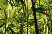 Hoe verdelen & transplantatie zwarte bamboe