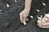 Hoe Plant & groeien van knoflook in de tuin