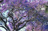 How to Grow een keizerin Tree uit zaden