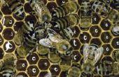 Waarom zijn de bijen vliegen laag rond het gras?