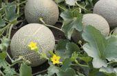 How to Grow meloenen (honingdauw en Cantaloupe meloen (vrucht))