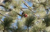 How to Plant Pine bomen van dennenappels