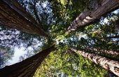 Verschil tussen Redwoods en Sequoia 's